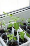 Matière végétale des jeunes arbres de poivre de piment Photo stock