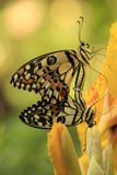Mati de las mariposas de la mariposa de la cal (demoleus de Papilio) Foto de archivo libre de regalías