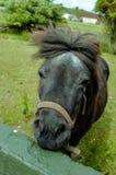 Matilda de poney die van Shetland een slechte haardag heeft stock foto's