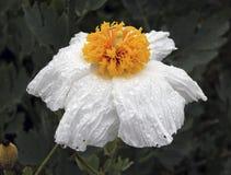 Matilija maczka kwiat Fotografia Stock