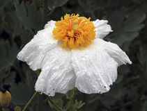Matilija Poppy Flower. A White Matilija Poppy covered in water drops stock photography
