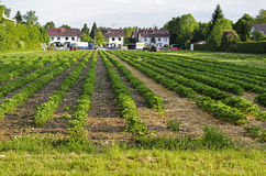 Matin à la belle ferme de fraise Photographie stock libre de droits