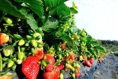 Matin à la belle ferme de fraise Photo libre de droits
