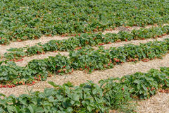 Matin à la belle ferme de fraise Culture industrielle des fraises en Allemagne Images stock