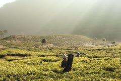 Matin à la plantation de thé image stock