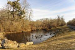 Matin au petit étang avec des canards en parc suburbain de poche Photographie stock libre de droits