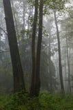 Matin automnal brumeux et forêt normale d'aulne Images libres de droits