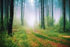 Matin brumeux dans la forêt Photographie stock