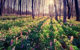 Matin coloré de ressort dans la forêt images libres de droits