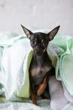 Matin confortable de petit chiot dans le lit Photo libre de droits