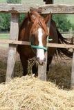 Matin d'alimentation de cheval coloré par châtaigne à la ferme d'animaux Image stock