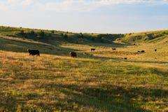 Matin dans le pâturage de vache Images libres de droits