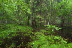Matin dans le stand à feuilles caduques de la forêt de Bialowieza image libre de droits