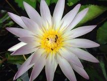 Matin de Lotus Photographie stock libre de droits
