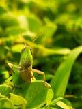 Matin de sauterelle Photo libre de droits