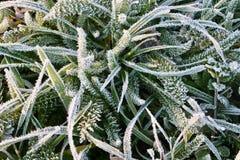Matin gelé d'herbe le début février photo libre de droits