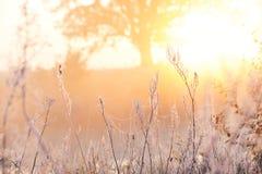 Matin givré doux d'automne Herbe dans une gelée à jour, un chêne puissant à la lumière du soleil à l'arrière-plan La chaleur de c image libre de droits