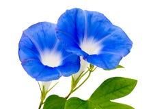 Matin-gloire bleue à un arrière-plan blanc Images stock