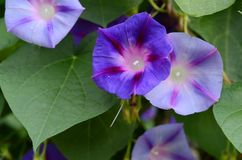 Matin Glory Flower Image libre de droits