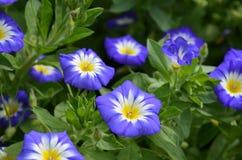 Matin Glory Flowers dans une floraison de jardin Images stock