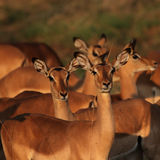 matin léger d'impalas Image libre de droits