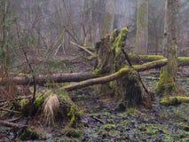 Matin tôt de ressort dans la forêt avec la brume et l'arbre cassé Photographie stock
