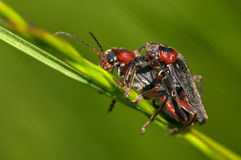 Mating. A male and female bugs in mating royalty free stock photography