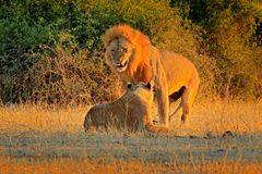 Mating action scene, animal behaviour in the nature habitat. Male and female, evening orange sun, during sunset, Chobe National Pa royalty free stock images