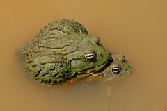 Mating African giant bullfrogs. A pair of African giant bullfrogs (Pyxicephalus adspersus) mating, South Africa stock photo