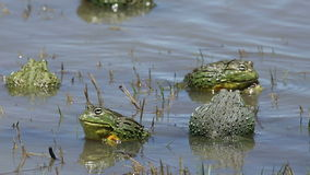 Mating African giant bullfrogs stock video