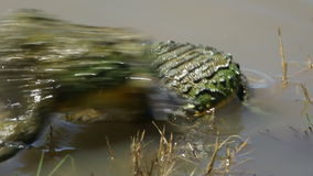 ■ Mating African giant bullfrogs stock video