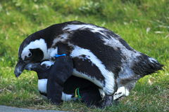 Mating african penguins Royalty Free Stock Images