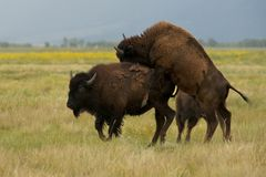 Mating American bison or buffalo Stock Photography