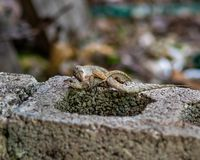 Mating anole lizards on a cement block royalty free stock photos