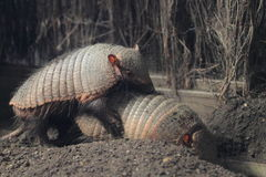 Mating armadillos Royalty Free Stock Images