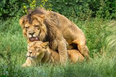 Mating Asiatic Lions. Lions love couple. Lion and lioness in loving pose mating in the grass stock photo