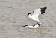 Mating Avocets Stock Photo