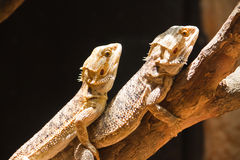 Mating of Bearded dragons. (pogona vitticeps) on wood Stock Photo
