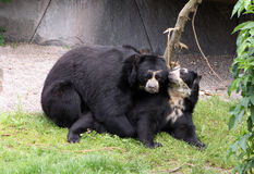 Mating Bears Royalty Free Stock Photo