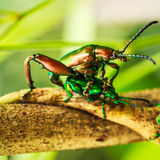 Mating of beetle Royalty Free Stock Photos