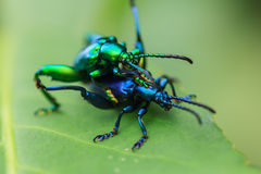 Mating of beetle Royalty Free Stock Image