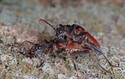 Mating beetles Royalty Free Stock Images