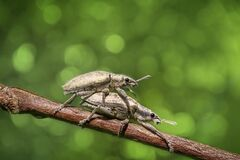 Mating beetles on branch Royalty Free Stock Photos