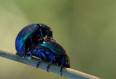 Mating beetles Royalty Free Stock Photo