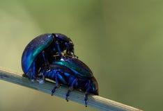 Mating beetles royalty free stock photo