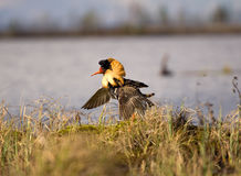 Mating behaviour. Male ruffs are in state of self-advertising Royalty Free Stock Images