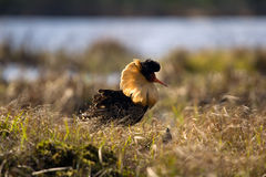 Mating behaviour. Male ruffs are in state of self-advertising Royalty Free Stock Photos