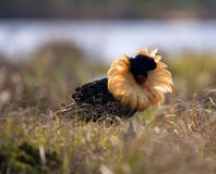 Mating behaviour. Male ruffs are in state of self-advertising Royalty Free Stock Photo