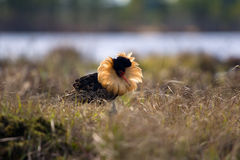 Mating behaviour. Male ruffs are in state of self-advertising Royalty Free Stock Image