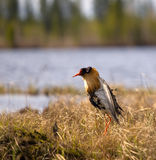 Mating behaviour of ruffs in lek (place of courtship) Stock Images